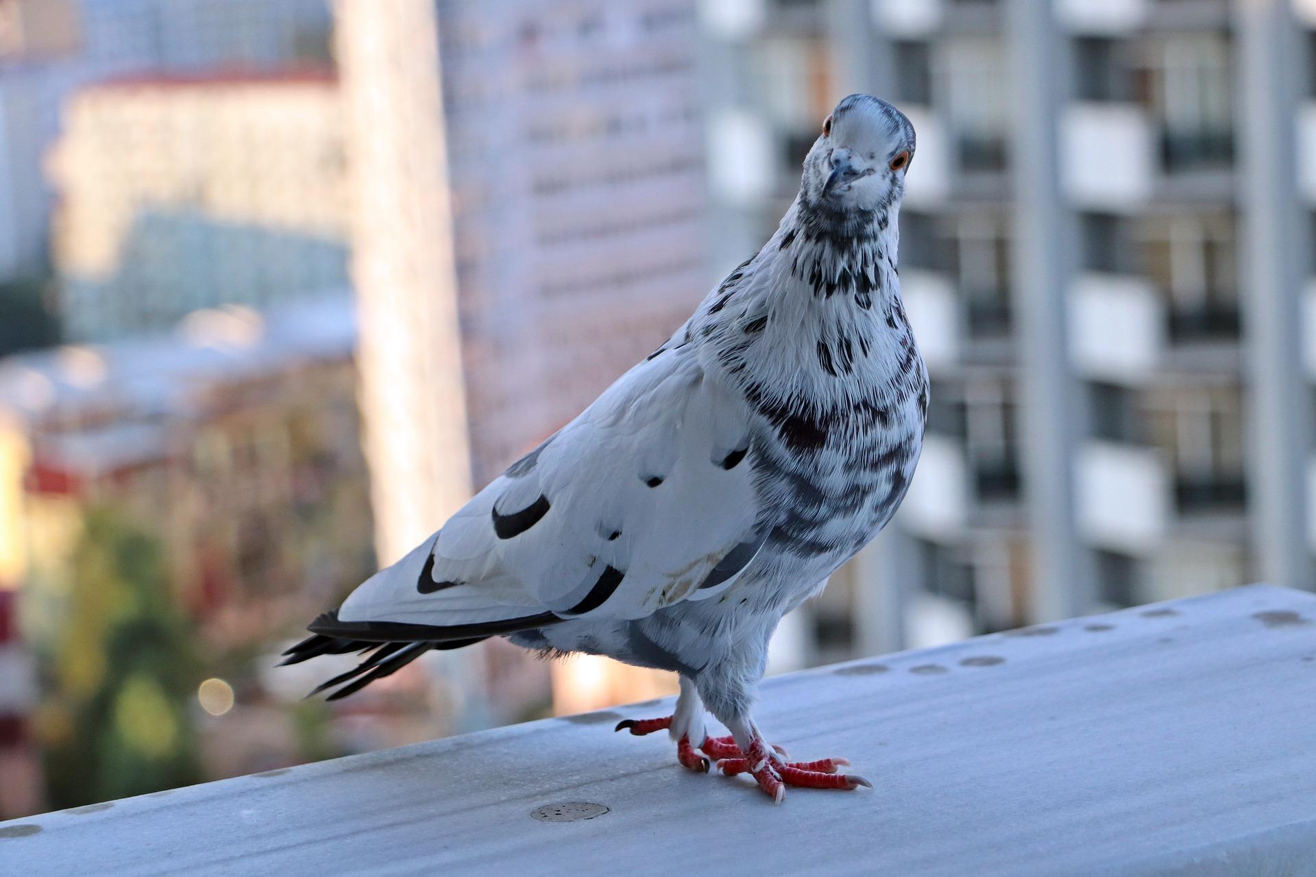 К чему птица залетела на балкон