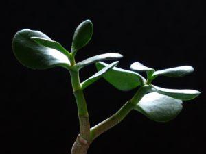 Толстянка или денежное дерево: народные приметы